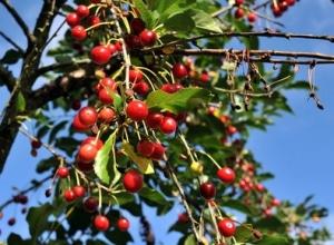 des cerisiers
