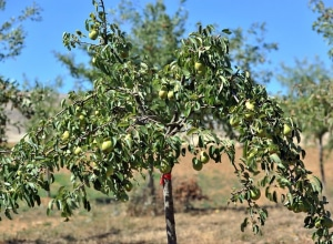 THERE ARE MORE THAN 20 PEAR TREES ON THE SITE